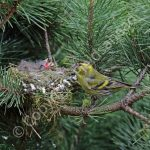 Male Siskin at the nest with young