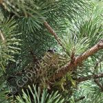 Female Siskin incubating eggs