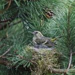 Female Siskin brooding young