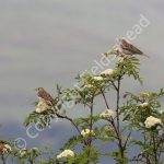 Pair of Tree Pipits