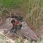 Tree Pipits at the nest with young