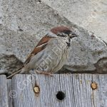 Tree Sparrow with food for young